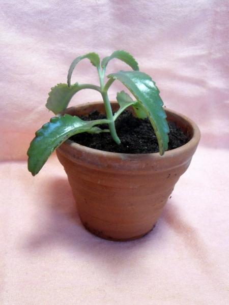 Bryophyllum / Brutblatt